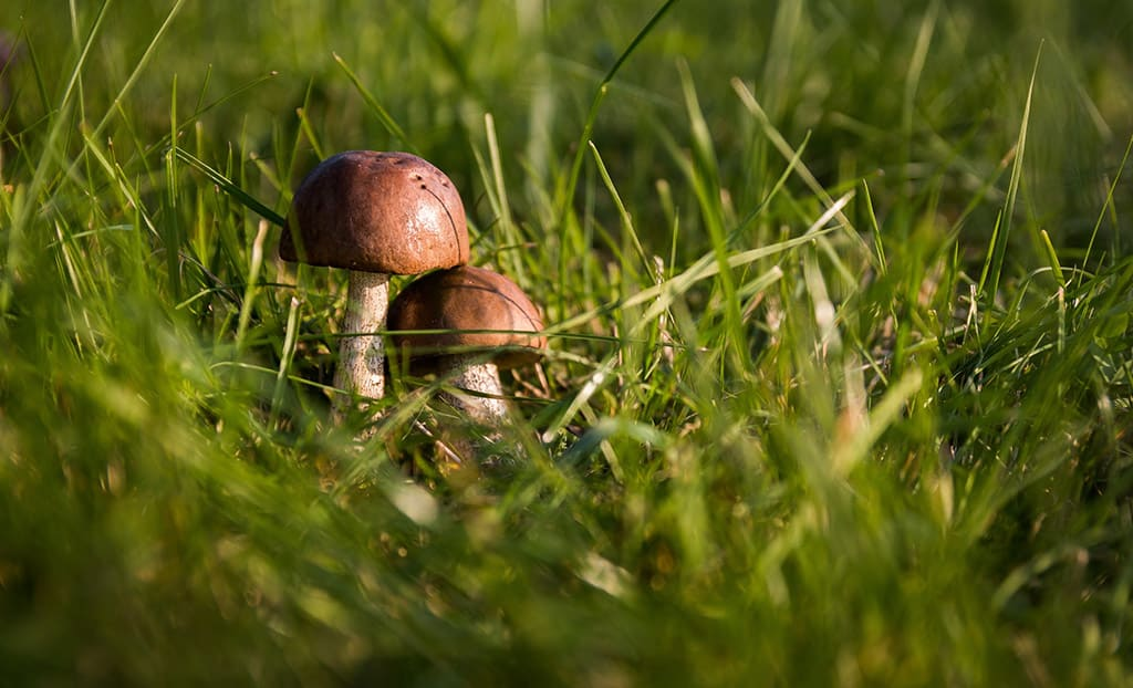 Photograph Of Large And Small Mushrooms Growing Together In Grass, Penis Size Concept