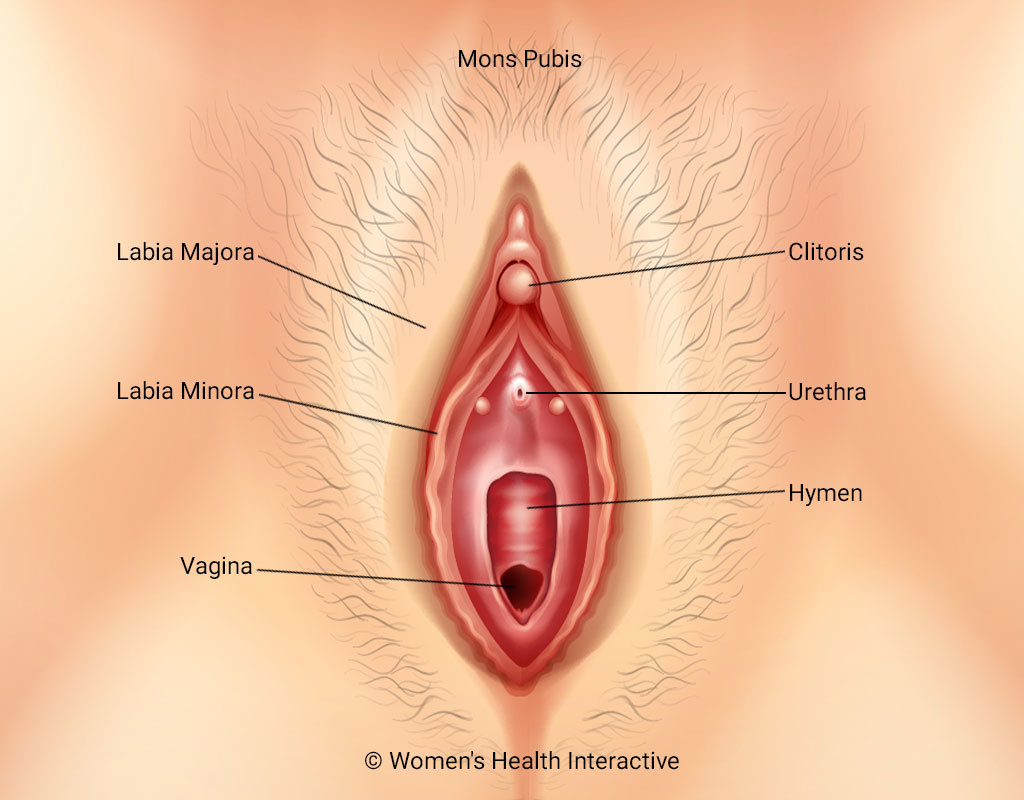 Illustration Of Vulva, Labeled To Show The Mons Pubis, Labia Majora And Minora, Clitoris, Urethra, Hymen, And Vagina